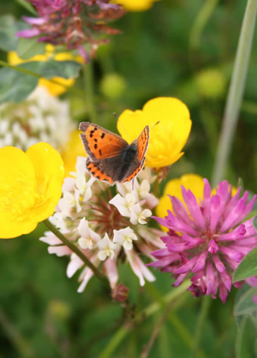butterfly with Red Clover, White Clover and Buttercup in meadow