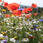 cornfield_annuals_mix