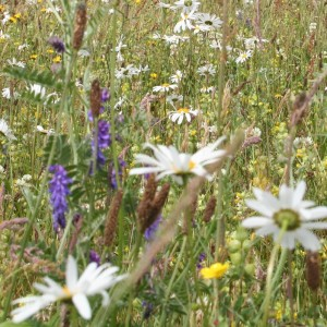 mavisbank_meadow_mix