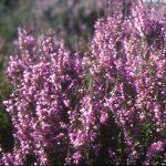Calluna_vulgaris