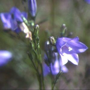 Campanula_rotundifolia