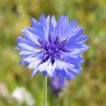Centaurea_cyanus