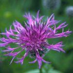 Centaurea_scabiosa