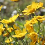 Chrysanthemum_segetum