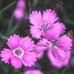Dianthus_deltoides