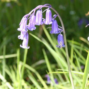 Hyacinthoides