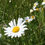 Leucanthemum_vulgare