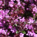 Thymus_polytrichus
