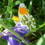 Orange tip butterfly and Hyacinthoides (6)