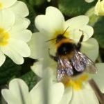 Primrose and bumblebee