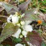 White Deadnettle & bumblebee