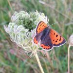 Wild Carrot and Small Copper butterfly
