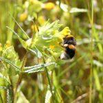 Yellow Rattle (Rhinathus minor) & bumblebee