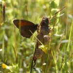 Yellow Rattle & Meadow Brown butterfly