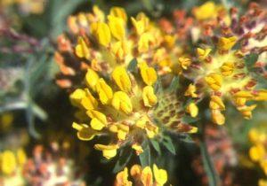 Kidney Vetch (Anthyllis vulneraria) flower