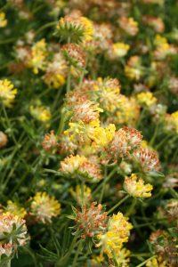 Kidney Vetch (Anthyllis vulneraria) flowers