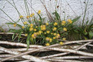 Kidney Vetch (Anthyllis vulneraria) plant