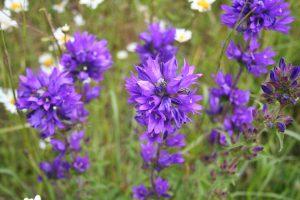 Clustered Bellflower (Campanula glomerata) flowers