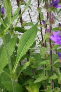 Clustered Bellflower (Campanula glomerata) leaf