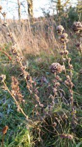 Clustered Bellflower (Campanula glomerata) seedheads