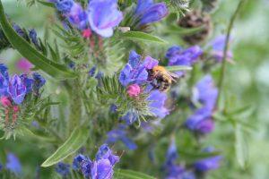 Viper's bugloss (Echium vulgare) and bumblebee