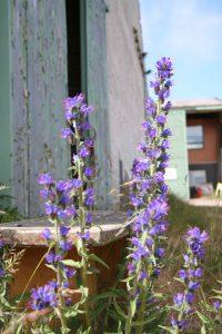 Viper's bugloss (Echium vulgare) flowers spikes