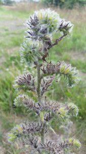 Viper's Bugloss (Echium vulgare) seed heads