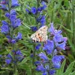 Viper's bugloss (Echium vulgare) flowers and Painted Lady butterfly
