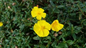Rock Rose (Helianthemum nummularium) flowers