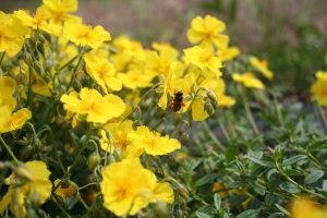 Rock Rose (Helianthemum nummularium) plants