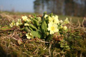 Primrose (Primula vulgaris) plant
