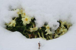 Primrose (Primula vulgaris) plant in snow
