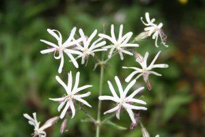 Nottingham Catchfly (Silene nutans) flowers