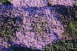 Wild Thyme (Thymus polytrichus) plants