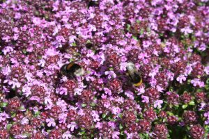 Wild Thyme (Thymus polytrichus) flowers and bumblebee