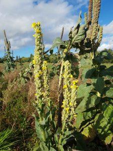 Mullein (Verbascum thapsus) plants