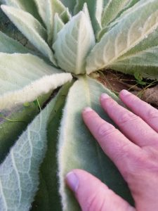 Mullein (Verbascum thapsus) plant base