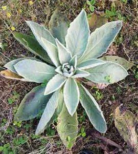 Mullein (Verbascum thapsus) plant rosette