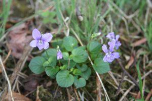 Violet (Viola riviniana) plant
