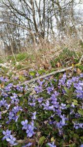 Violet (Viola riviniana) plants