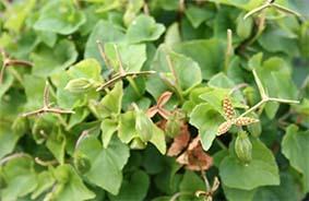 Violet (Viola riviniana) seed pods