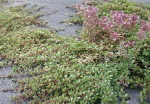Wild Thyme (Thymus polytrichus) leaves
