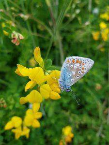 Common Blue butterfly on Birdsfoot Trefoil