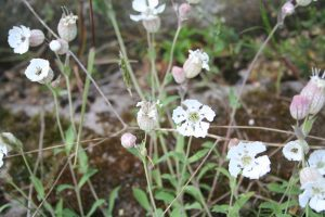 Sea Campion (Silene uniflora) plant