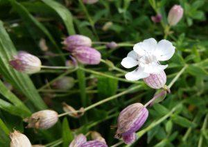 Sea Campion (Silene uniflora) flower and seed heads