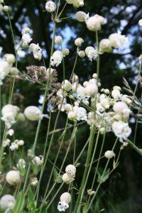 Bladde Campion (Silene vulgaris)