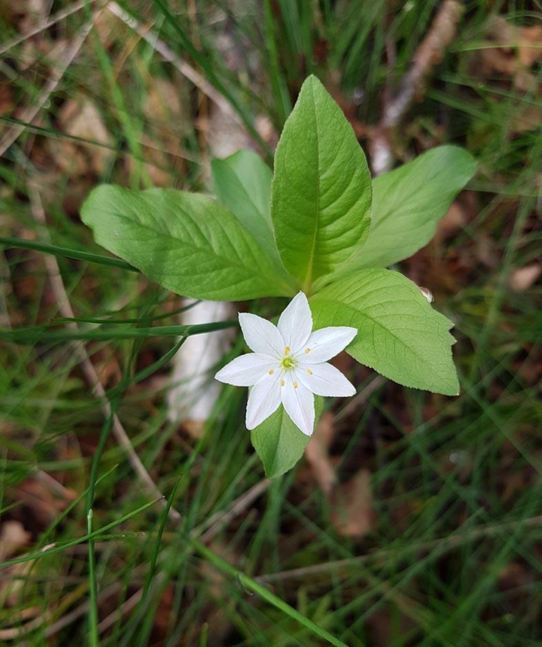 Chickweed Wintergreen/ Arctic Starflower (Lysimachia europaea)
