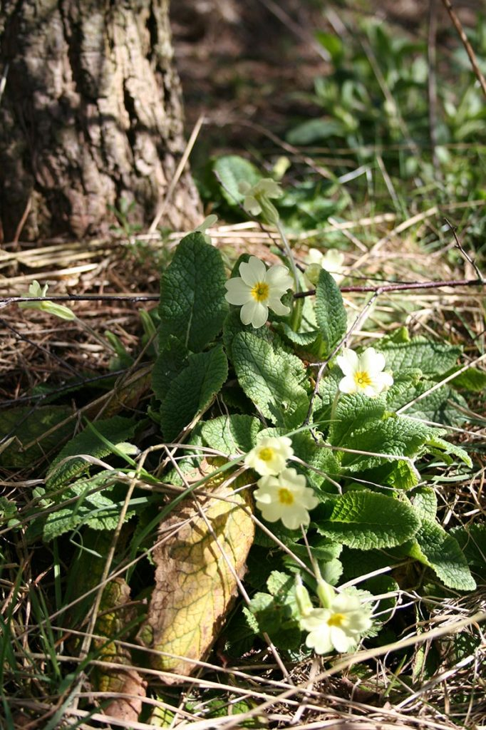 Primrose/ Spinkie (Primula vulgaris)